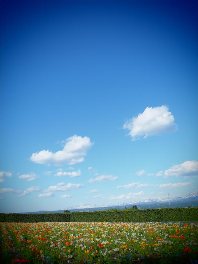 5/20(日)〜22(火)、3日間で北海道に行ってきました! 「北海道住みの祖母に会いたいー、大きくなった娘見せたいーー」ということで航空券情報いつも見てたんですが、 GW過ぎたらオフシーズンにあたるのか、5月下旬が異様に安くてですね!!! みてこれ、5月下旬は片道1万円以下!! 行ってきましたよ〜〜〜〜 北海道〜〜〜〜〜〜 もう、オフシーズンなんて何をおっしゃいますやら。 超絶気持ちいい気候で広島とあんまり変わらん服装で過ごせました! 祖母に会う前に 富良野美瑛を巡ってきたんですが、 * 天気良いのは、たまたまだったんかもしれんけど、 3日間真っ青青空広がっておりました。 絵になるぅうううう 娘:こねぎも「太陽きもちいいねえ」と日光浴を楽しんでおりました…! 季節の花がいっぱい咲く:中富良野の「ファーム富田」では シバザクラの中に埋もれていたチューリップが、気になって気になってその場から動かんかったり、 お土産を定員のお姉さんに手渡してもらって、上機嫌のまま散歩して 道に見つけたタンポポを吹くも、全然飛ばないもんだから 綿毛むしって飛ばし始めたりして北海道エンジョイしてらっしゃいましたわ。 北海道は、桜が散り始めの時期で、 山がまだちょいちょいピンク掛かってて見入ってしまったんですが、 タンポポ、 美瑛では、つくしが丁度ニョキニョキ生えてきていて、 「北海道いま、春や…!」と今年2度目の春を楽しみました。 でも大雪山系は、雪積もってんの!!! 広島じゃあ、夏日続いてたけど、…んもう日本広いね…  (しみじみ) 食もさすが北海道… スイーツも美味い… ジンギスカンも鹿肉も美味い… 牛乳も、寿司も、 絶句する美味さだったんですが、 行きの飛行機内で、後ろに座っていらっしゃった函館在住の奥様が、 「北海道居たら、太るわよ」言うてらっしゃって 分からんでもない… と思いました^^、、  美味しいもんいっぱい過ぎて食べ過ぎるわー!!! どれもこれもウメエ!!!!! しこたま晩飯に回転寿司を喰らったのですが、 翌日、祖母が「注文したからねー」と、昼間に寿司頼んでくれて、 2日間何貫食べたんだ(^^、、)と途方に暮れながらも、 いやあでももう、美味いって幸せだね…!!(しみじみ) 美瑛の「四季彩の丘」いうお花畑には、http://www.shikisainooka.jp/ アルパカがおるんですが、 NHK「おかあさんといっしょ」内で、毎日歌われる曲の中に「アルパカ」が登場するので アルパカに会うことを大変楽しみにしていたこねぎ。 もう、手を思い切り舐められようが、食われようが、気にせず「かわいいねえかわいいねえ」と全力でアルパカを愛でに行くこねぎに「コイツすげえな」となりました。 私でも食われそうになったら怖いのに、図太い神経を持つこねぎに感動しつつ 「しつこいと嫌われるよ〜」なんて、最終的に草に見向きもしなくなったアルパカたちに、落ちている草を何度も食わせようとする姿に、振り向かれなくても、めげずにアタックする姿勢も大事かもしれん、と胸熱くなったりしました。 まだじっと見てんの!! 最終的に、おみやげでアルパカのぬいぐるみ買ったんですが、 一番エサを食べてくれたアルパカと同じ色の、茶色アルパカを選び、大変ご機嫌でございました。 枕元にはもうアルパカ。 楽しい3日間でございました!! 祖母は、胃がドンドン小ちゃくなっているようで、顔が痩せてきていて心配なのですが、 でもまだまだ元気そうなので、今後も北海道には度々通おうと思います。 なにより、こねぎを見て「大きくなったねえ」と喜んでる姿見れたので、 それが今回の旅一番嬉しかったです…! ばあちゃん、また会いにくるよ〜〜〜〜〜 北海道…  また来るぜえええええええええええええ