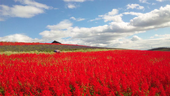 富良野から美瑛に移動中広がる花畑